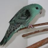 Turquoise Lineolated Parakeet
