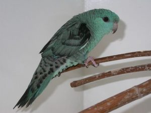 Turquoise Lineolated Parkit