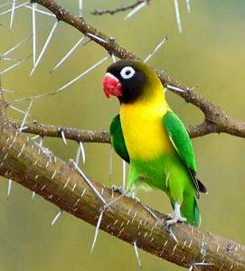 Yellow Collared Lovebird