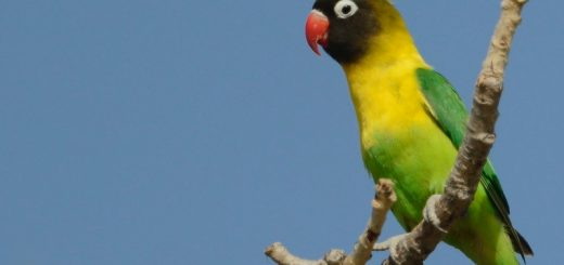 Yellow Collared Lovebird Images