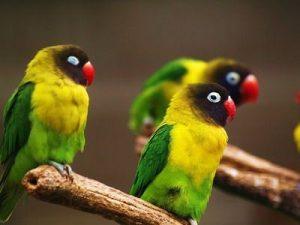 Yellow Collared Lovebird Photos