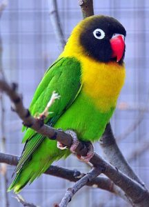Yellow Collared Lovebird Pictures