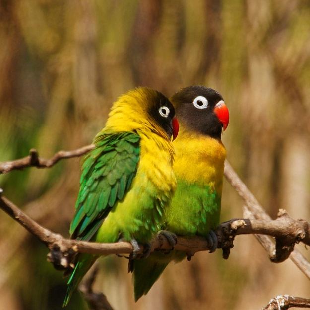 Yellow-Collared Lovebird Facts, Pet Care, Behavior, Price ...