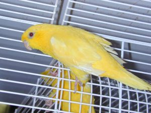 Yellow Lineolated Parakeet