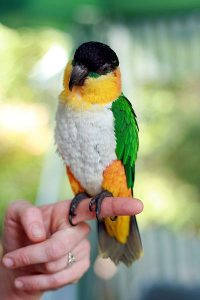 Black Head Caique