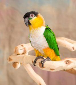 Black Headed Caique Bird