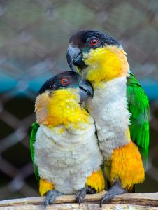 Black Headed Caiques