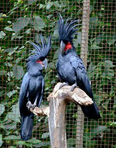 Black Palm Cockatoos