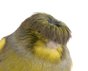 Gloster Canary Bowl Cut