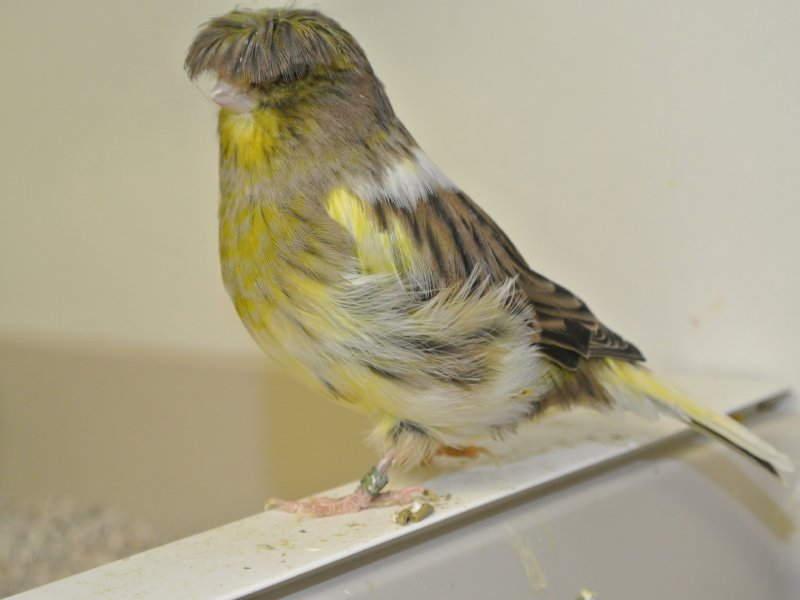 gloster canary facts  pet care  housing  diet  price  pictures