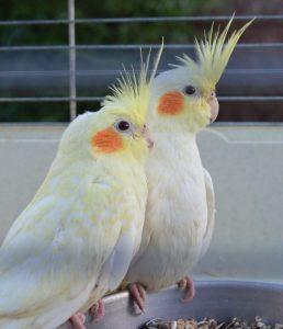 Lutino Cockatiel Babies