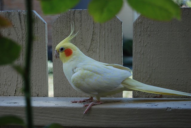 Lutino Cockatiel Facts, Pet Care, Housing, Price, Pictures ...