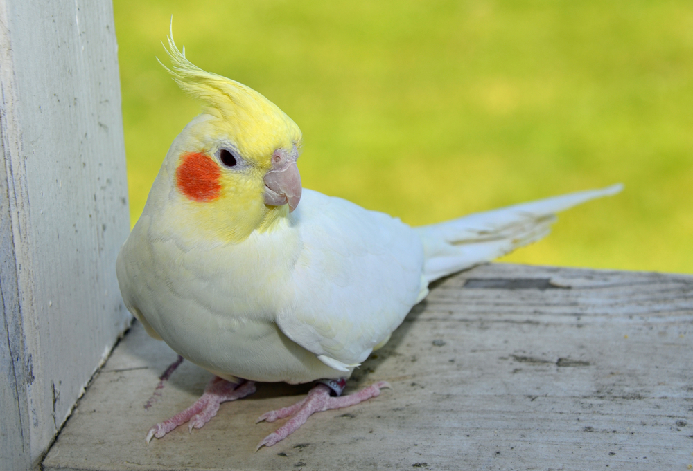 Lutino Cockatiel Facts Pet Care Housing Price Pictures