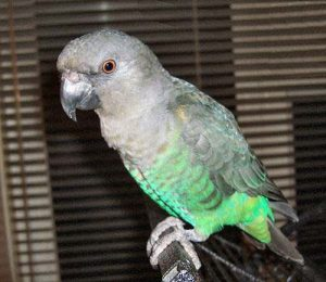 Meyer's Parrot Bird