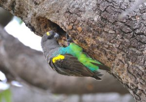 Meyer's Parrot Pictures