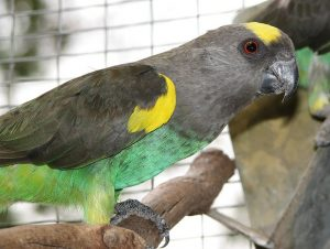 Meyer Parrot Bird