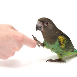 Meyer Parrot Pictures