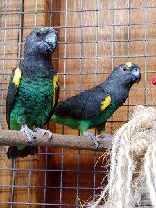 Meyer Parrots