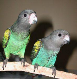 Meyers Parrots