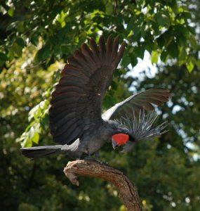 Palm Cockatoo Bird