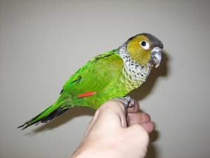 Black Capped Conure Bird