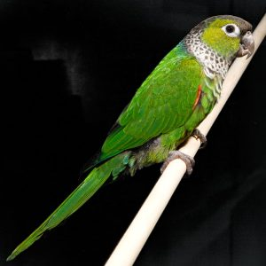 Black Capped Conure Images