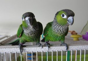 Black Capped Conures