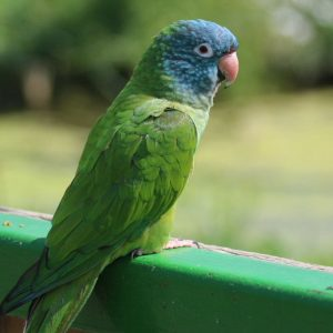 Blue Crown Conure Bird