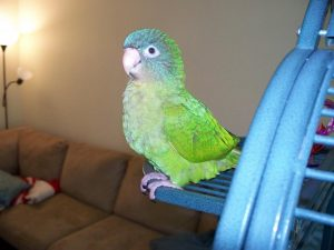 Blue Crown Conure Pictures