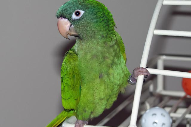 Blue-Crowned Conure Facts, As Pets, Behavior, Diet, Pictures