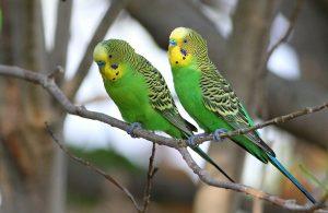 Budgerigar Birds