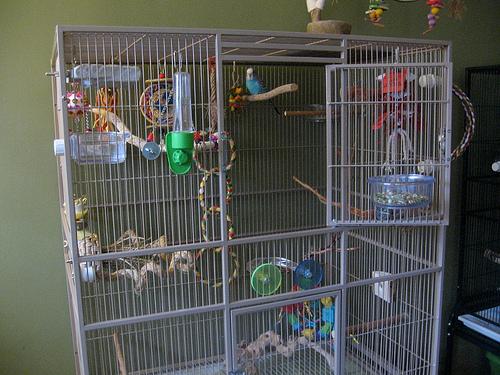 Budgerigar Bird Facts Pet Care Behavior Housing Pictures