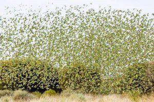 Budgerigar Flock