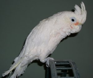 Goffin Cockatoo Bird