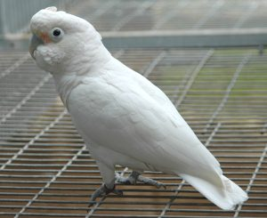 Goffin Cockatoo Female