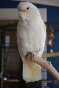 Goffin Cockatoo Pictures