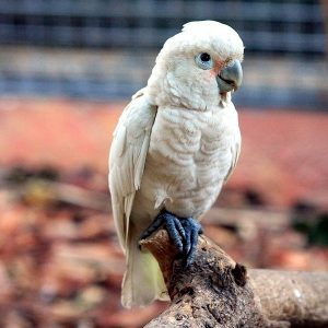 Goffin Cockatoo Size