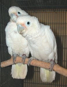 Goffin Cockatoos