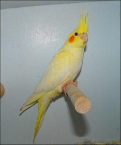 Lutino Pied Cockatiel