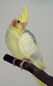 Pearl Pied Cockatiel