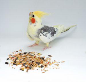 Pied Cockatiel