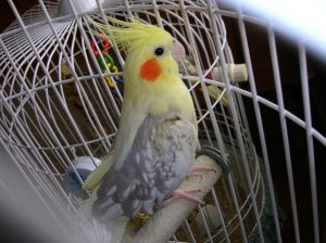 Pied Cockatiel Female