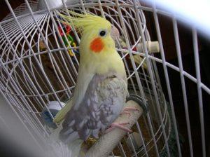 Pied Cockatiel Female