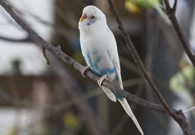 Budgerigar Bird Facts, Pet Care, Behavior, Housing ...