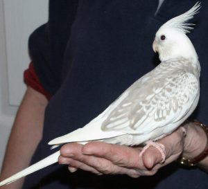 White Faced Pied Cockatiel