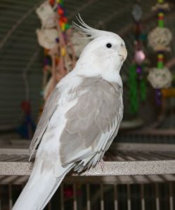 Whiteface Pied Cockatiel