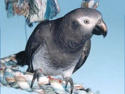 Timneh African Grey Facts, Pet Care, Personality, Pictures