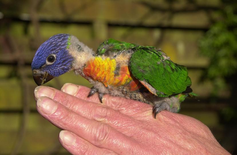 Rainbow lorikeet facts pet care diet price pictures singing