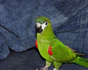 Hahn Macaw