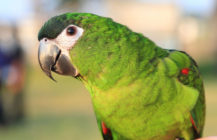 Hahn S Macaw Facts Pet Care Temperament Price Pictures
